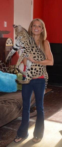 """""""Savannah"""" cat^^ So big for a domestic cat !! Like have a leopard in your arm.: Bengal Cats, Big Cats, Big Domestic Cats, Hate Cats, Future Pet, Savanah Cat, Cat Breeds, Savanna Cat, Savannah Cats"""