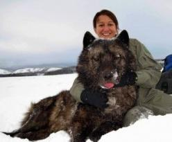 'Yellowstone Wolf 495M   495M was a remarkable wolf. At the time of his capture for collaring, he was the largest wolf ever recorded in Yellowstone, weighing in at 143 lbs. The researchers joked that they had darted a bear instead of a wolf because of