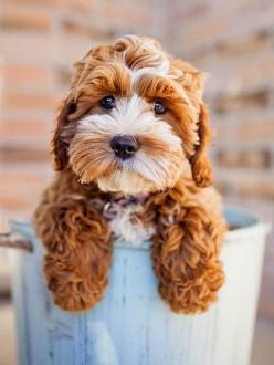 5 mind blowing facts about dogs: Cockapoo Puppies, Doggie, So Cute, Teddy Bears, Puppys, Stuffed Animal, Friend, Cute Dogs