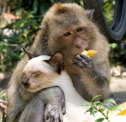 A cat has found himself a little unusual friend, a monkey who is so protective of his feline friend that they are constantly together wherever they go. It doesn't matter what species you are, love transcends all boundaries.: Best Friends, Animal Kingdom,