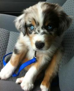 Australian shepherd...want!: Australian Shepard, Golden Retrievers, Blue Eyes, Australian Shepherd, Siberian Huskie, Adorable Animal, Golden Husky