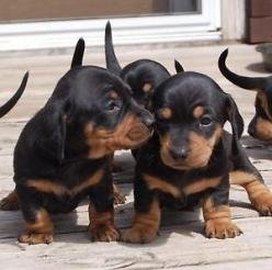 awww.... BABIES!!!!!!! ❤️❤️❤️❤️❤️❤️  Looks just like my Roady when he was a baby! : Pets Dachshunds, Daschund, Dachshunds Puppies, Sweet, Doxies, Oscar, Animal