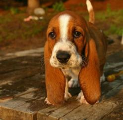 awww!: Bassett Hounds, Hound Dog, Iwant, Bassethounds, Pet, Basset Hound Puppy, Baby Basset Hound, Floppy Ears