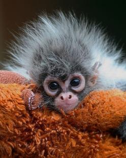 Baby spider monkey: God S, Monkey Business, Bad Hair, Baby Monkeys, Baby Animals, Monkey S, Adorable Animal