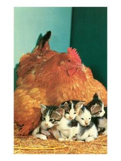 Babysitting 2: Farm Animals, Brooding Hens, Hen Sitting, Chicken Laying, Amazing Animals, Adopted Kittens