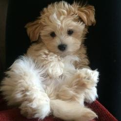 Baxter is TOO cute -- he is a Malshi!: Maltese Shih Tzu Puppies, Malshi Mugsy, Maltipoo Puppy, Malshi Puppies, Maltipoo Puppies, Malshi Puppy, Malshi Dogs, Puppy S
