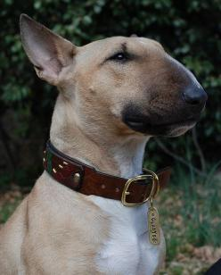 bull terrier, I so want this dog: English Bull Terriers, Gorgeous Fawn, Fawn Bull Terrier, Coloring Books, Beautiful Dogs, Handsome Bullie