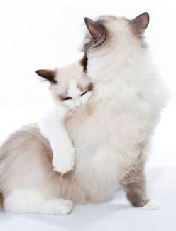 cat snuggles | DirtBikeDBA (Mike): Ragdoll Cat, Mother, Kitty Hug, Cat Hug, Kitty Kitty, Cat S, Mama Cat, Cats Kittens, Baby Cat