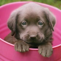 Chocolate lab puppy-reminds me of our puppy we got as a wedding gift Hershey!: Puppy Dogs, Adorable Animals, Chocolate Labs, Chocolate Lab Puppies, Puppy Dog Eyes, Labrador Puppies, Puppy Eyes, Furry Friends