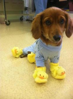 dachshund puppy in ducky slippers.: Cute Animal, Ducky Slippers, Adorable Animals, Pet, It S Friday, Puppy, Funny Animal, Funnie