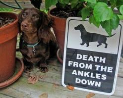 dachshund warning!: Pet, So True, Dachshund Warning, Weiner Dogs, Ankle Biters, Wiener Dogs