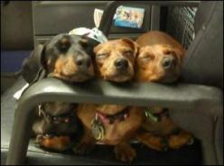 Dachshunds....!!!!!!!! #Dachshund #doxie darlin' #Wiener: Nap Time, Mini Dachshund, Weenie Dogs, Weiner, Doxie S, Funny Animal, Dachshund S, Wiener Dogs, Sleeping Doxies