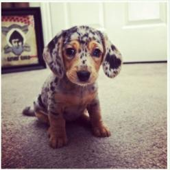 dapple doxie: Cutest Puppy, Cute Puppies, Dachshund Puppies, Dapple Dachshund