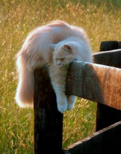 fluffy cat hanging out: Kitty Cats, Crazy Cat, Cat Naps, Kitty Kitty, Cat S, Fluffy Cat, Lazy Days, Kittycat