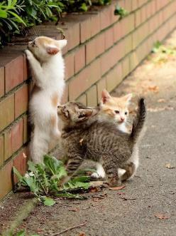 Four bricks high and this low garden wall proves to be a great obstacle for three tiny kittens to conquer!: