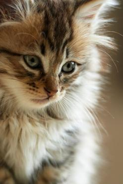 ♥  Gorgeous face on this cat!  When I was 5, my parents gave me a kitten who looked like this little beauty.  Her name was Smokey and we grew up together.  I'm 64 years old and I still miss my little Smokey.: Kitty Cat, Beautiful Cats, Maine Coon, Pre