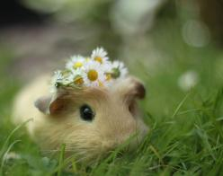 Guinea Pig - this inspires me to let one of these in my house omigosh I just want to snuggle it!: Guinea Piggies, Guineapigs, Cute Guinea Pigs, Adorable Animals, Flower Crowns, So Cute, Cute Animals