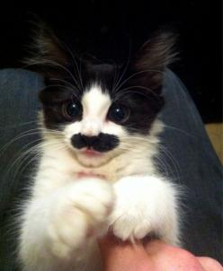 I can't believe this kitten looks like this!  I wold have to kiss it every second of every day!!!: Mustache Cat, Kitty Cat, Hitler Kitty, So Cute, Groucho Marx, Mustache Kitty, Charlie Chaplin, Mustache Kitten