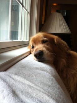 I don't think I have ever seen anything so sad.: Golden Retrievers, Pet, Smiley Face, Funny Picture, Funny Stuff, Puppy, Funny Animal, Furry Friends, Golden Retriever