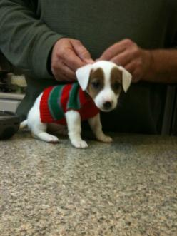 I remember when Rocsi was this small and she had her first sweater.. She can barely fit a paw in it now.: Puppies Dogs, Jack Russell Christmas, Christmas Puppy, Puppy Awww, Dogs Puppies, Baby Jack, Awwwwww Baby, Dogs In Christmas Sweaters