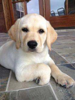 I want one: Labrador Retriever, Dogs Puppies, Yellow Labs Puppy, Animals And Pets, Labrador Puppies, Cute Dogs, Labrador Dogs