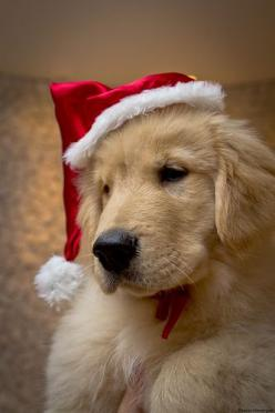 If this was my Christmas present, I literally would be the HAPPIEST girl on earth: Christmas Animals, Christmas Puppy, Christmas Dogs, Dogs Christmas, Golden Retriever Christmas, Christmas Golden, Cute Dogs, Golden Retriever Puppies