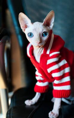 Kika, my lovely sphynx: Sphynx Cats, Big Blue Eyes, Hairless Cats, Beautiful Eyes, Sphinx Cat, Cats Kittens, Baby Cat