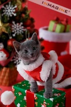 "* * KITTEN: "" Somethin' bad haz happeneds. Me humans think de be clever. Bulk be hinderin' me Christmas run."": Christmas Cats, Christmas Pets, Cat Christmas, Christmas Animals, 8Nyvxw Cat, Christmas Kitty, Christmas Kittens, Photo"