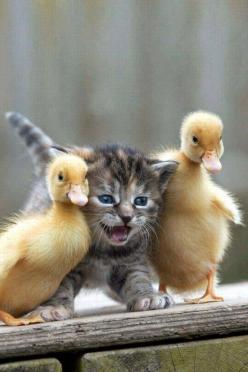 Kitten and duckling pals: Cute Animal, Cat, Duckling, So Cute, Kitty S, Baby Animals, Adorable Animal