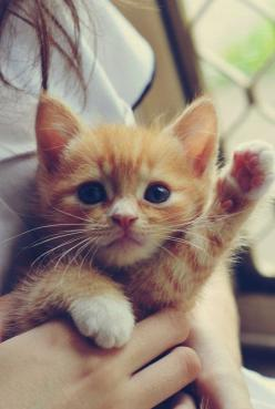 kitten!: Kitty Cats, Cute Animal, High Five, Orange Cat, Ginger Kitten, Cat Lady, Kittycat