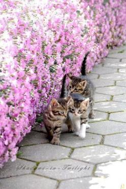 Kittens by the flower bed.: Kitty Cats, Kittens Flowers, Kittens Walking, Cat S, Flower Beds, Cats And Flowers, Cats Kittens, Cute Kittens