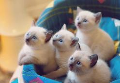 #kittens: Cute Animal, Kitty Cats, Siamese Cats, Siamese Kittens, Kitty Kitty, Siamese Kitties, Cat Lady, Adorable Animal
