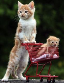 Kittens. Mommy can we get candy? I also wnat a lil sis. the mother kitten no no me and your father said we would  only have one kitten girl and one boy and the candy sure why not????????????????????????: Kitty Cat, Shopping Carts, Kitty Kitty, Cute Animal