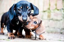 Love the dachshunds: Weenie Dogs, Puppy Love, Awwwww Animals, Doxie S, Doxie Babies, Weiner Dogs, Baby, Wiener Dogs, Dachshunds Doxies Teckels