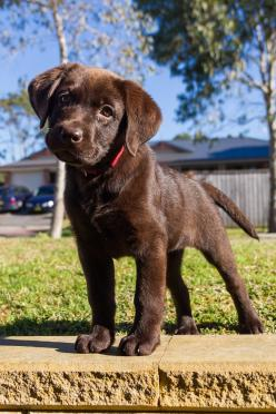 """Lovely little guy.  His expression sort of yes """"yes? what did you need? oh a kiss, ok"""": Chocolate Labs, Chocolate Lab Puppies, Pet, Puppys, Chocolate Labrador, Friend, Puppy S"""