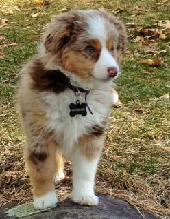 Maverick the Australian Shepherd: Aussie Australianshepherd, Dogslife Earthoptionspetfood, Dogs Aussies, Animals Wish, Aussie Dogs, Animals Magic, Aussies 3, Animals Food