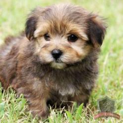 Morkie puppy!! Almost bought one of these cuties today until the boyfriend said no :( But maybe another time :): Morkies Puppy, Baby Morkie, Adorable Morkie, Ccuteanimals Blogspot, Morkie Dogs, Morkie Puppy, Cutest Puppy Ever, Cutest Morkie