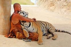 One man and his tiger! Buddhist cuddles up to deadly big cat... one of a HUNDRED raised by the monks from cubs Cuddling up: In this remarkable photograph, an adult tiger and a Buddhist monk embrace in a seemingly mutual display of affection: Bucket List,
