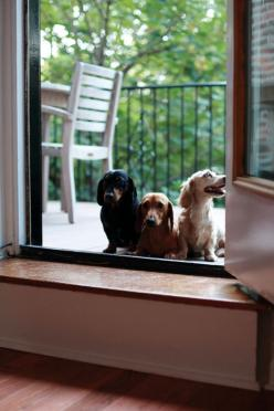 Our crackerjack, high security guard dogs.  We'll be alright as long as we don't have any intruders taller than a foot or two...: The Doors, Dachshund Love, Weenie Dogs, Doxie S, Baby Dachshunds, Weiner Dogs, Animals Doxies, Wiener Dogs