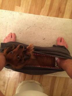 Random Pictures Of The Day - 86 Pics: Dachshunds Humor, Dachshunds Funny, Dachshund Humor, Wiener Dogs, Clingy Dog, Daschund Funny, Doxie Humor, Weiner Dog Humor