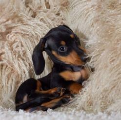 So soft: Baby Doxie, Beautiful Doxie, Doxie S, Baby Doll, Baby Animal, Doxie Pup, Baby Dachshund