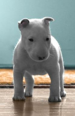 Something I'd love to stick my face in and inhale deeply, followed by lots and lots of smooches.: Bull Terrier Puppy, Bull Terriers, Pitbull, Pit Bull, Bullterriers, Baby Bullterrier, Puppy Bullterrier, English Bull Terrier