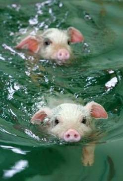 Swimming piglets.  SWIMMING PIGLETS!  :D: Swimming Pigs, Swimming Piglet, Swimming Piggies, Adorable Animal