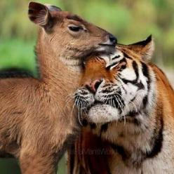 * There is no greatness where there is not  simplicity, goodness and truth.                   ~ Leo Tolstoy: Tiger Friendship, Big Cats, Animal Odd Couples, Tiger Deer, They Re Friends, Unusual Friendships, Friendship Love