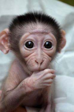 This face is just too adorable. If the big eyes and the ears sticking out of the sides of its head doesn't get you, then the little guy sucking on his thumb certainly will. -- Baby Monkey: Cute Animal, Thumb Sucker, Monkey Sucking, So Cute, Baby Monke