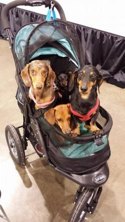 This gang is adorable #Doxie #Dachshund: Pets Dachshunds, Dog Stroller, Dachshunds Puppies, Dogs Pets, Places Dogs, Adorable Dachshund, Wiener Dogs