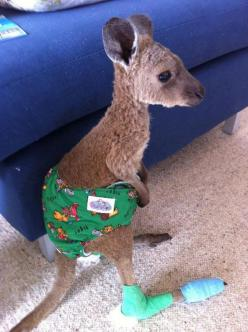 This picture contains dangerous levels of cute. I think the undies have bears on them.: Baby Kangaroo, Adorable Animals, So Cute, Cute Animals, Babykangaroo, Baby Animals, Poor Baby, Cutest Animal