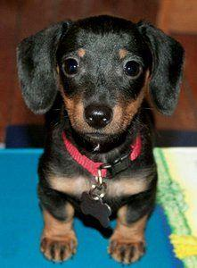 U know U love me..just look at me.. In love with the doxie..4 sure.: Mini Dachshund, Sausage Dogs, Weenie Dogs, Baby Doxie, Dachshund Puppies, Adorable Animals, Baby Lucy, Baby Dogs