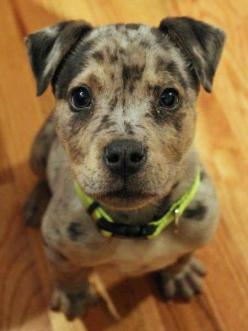 via the daily puppy  Puppy Breed: Staffordshire Bull Terrier / Catahoula Leopard Dog  Click on link for more VERY cute pics: Catahoula Leopard Dog, Dog Baby, Dog Mixes, Catahoula Dog, Catahoula Mix, Mix Breed Dogs, Puppy Breed