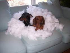 we may be in a little trouble...u think?: Fake Doggie, Doggie Disaster, Parents Dogs, Dog Humor, Dachshund S, So Funny, Making Doggy, Couch Cushions